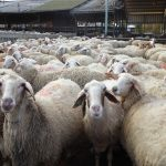 Sheep Farming in Israel